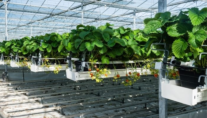 Hydroponic Strawberries Growing in Rows