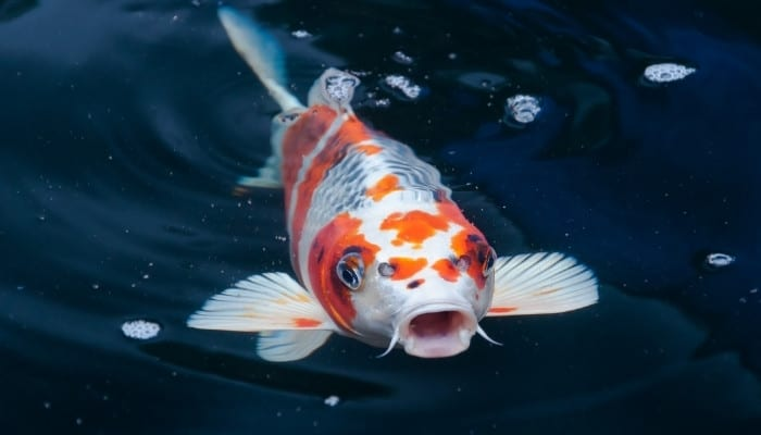 An orange-and-white koi fish at the water's surface.