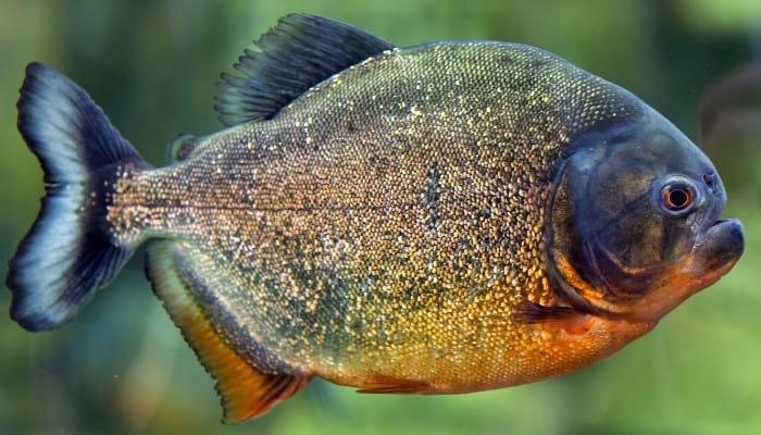 A large pacu fish close-up image.