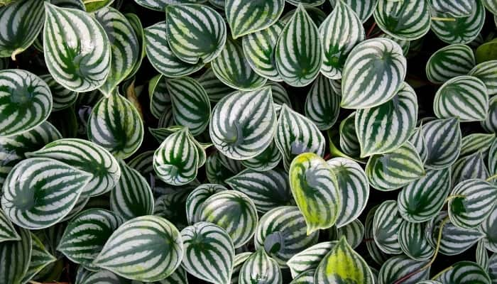 Multiple leaves of a watermelon Peperomia viewed from above.
