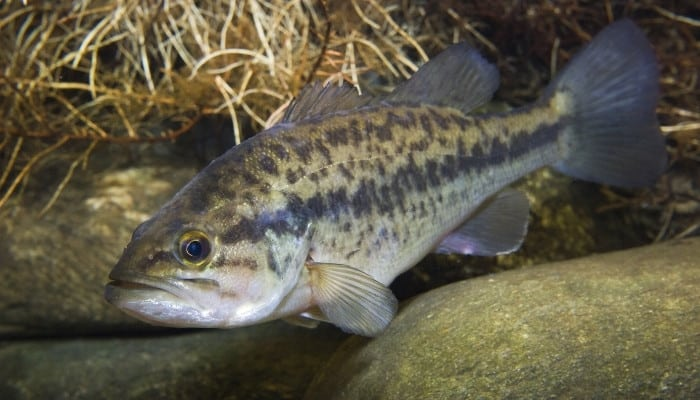 A largemouth bass swimming near smooth rocks underwater.