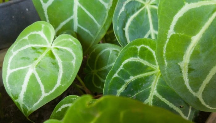 Light green leaves of an Anthurium crystallinum plant.