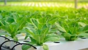 Lettuce Growing In NFT Aquaponics System