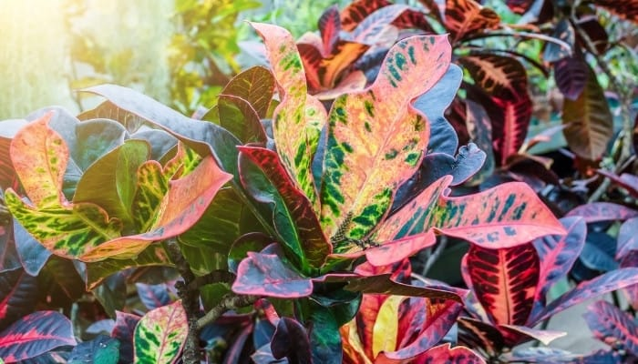 Several mammy croton plants thriving in a tropical setting.