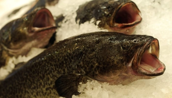 Several Murray cod fish on ice for sale at fish market.