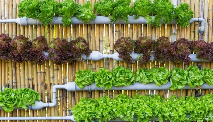 A hydroponic system using PVC pipes set on a bamboo fence.