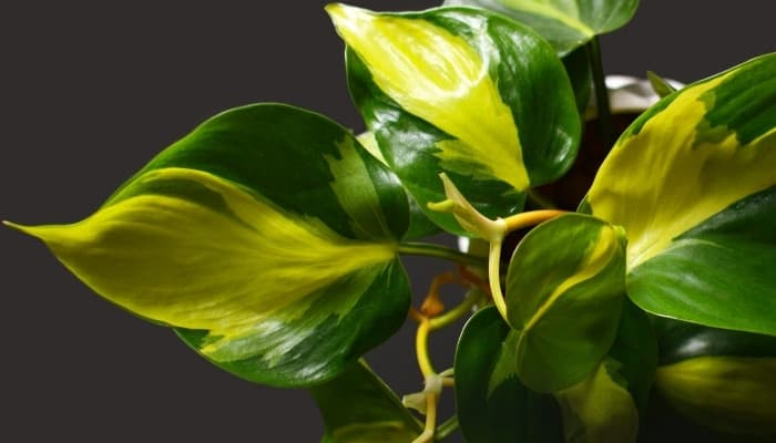 Philodendron Brasil leaves with green and yellow coloration on a dark gray background.