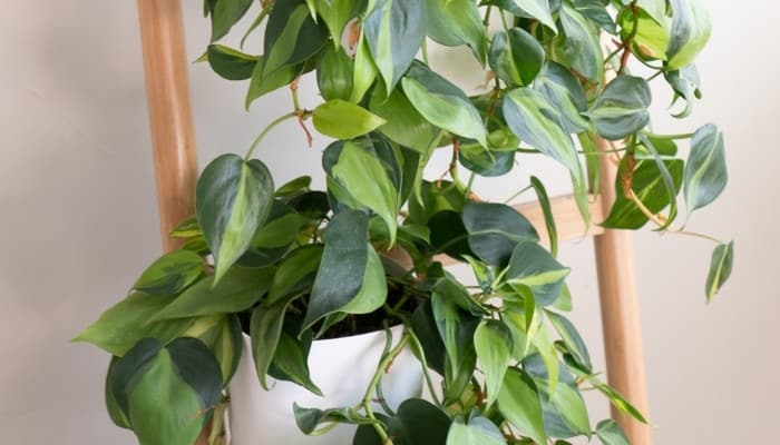 A Brazilian philodendron trained to climb a ladder trellis.