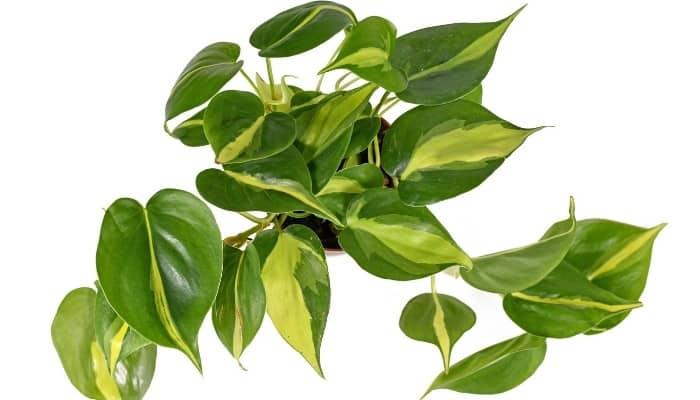 Top view of a Brazilian philodendron on a white background.