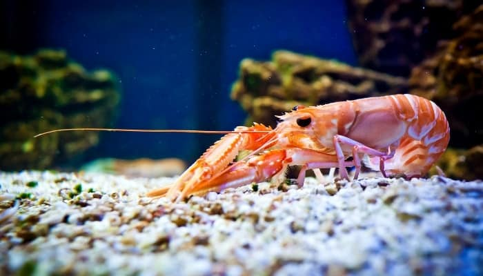A large pink shrimp on the bottom of a fish tank.