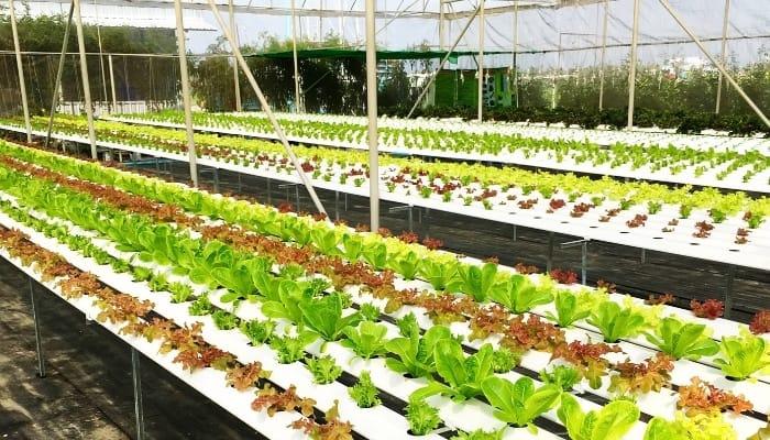Plants in Large Hydroponics Farm