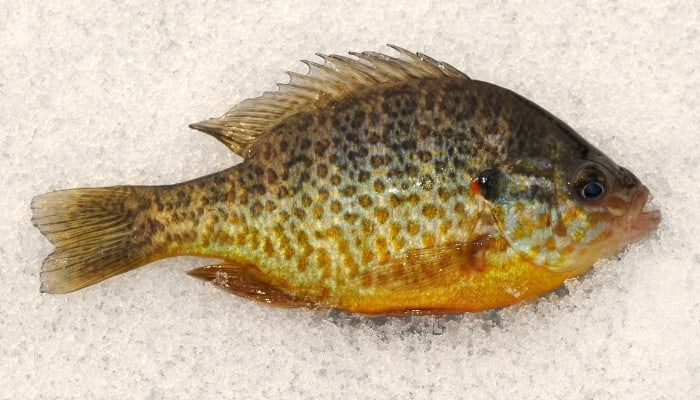 A fresh red ear sunfish on ice.