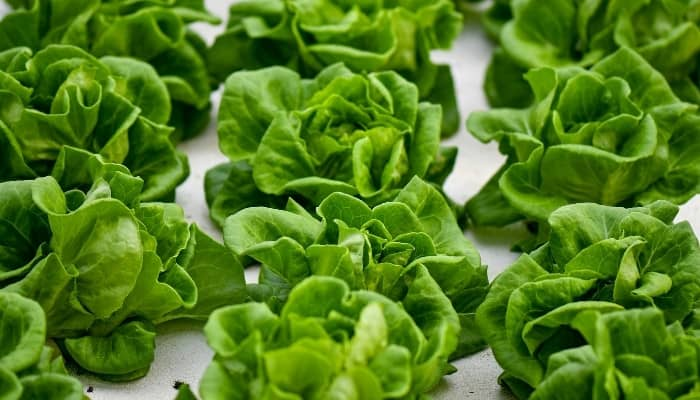 Multiple rows of hydroponically grown lettuce floating in their grow tray.