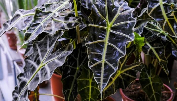 Several Alocasia Polly plants with large, dark-green leaves.