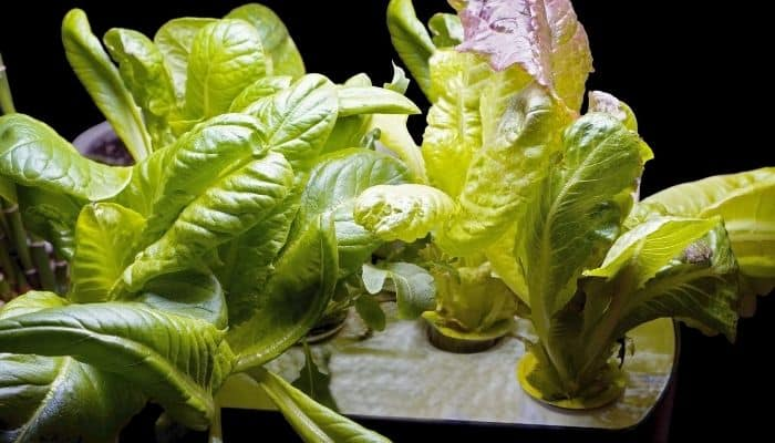 Several young hydroponically grown lettuces on grow tray against a black background.