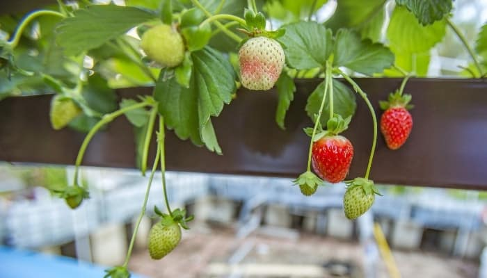 Several strawberry plants growing in a brown grow tray as part of an aquaponic setup.