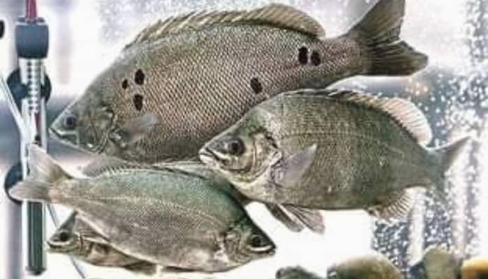 Three jade perch huddled together in fish tank.