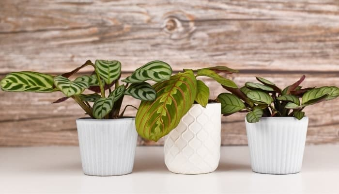 Three prayer plants in white pots lined up on a white table set against a wood plank wall.