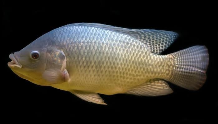 A tilapia fish set against a black background.