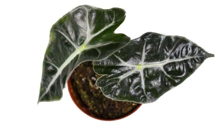 An Alocasia Polly plant viewed from above.