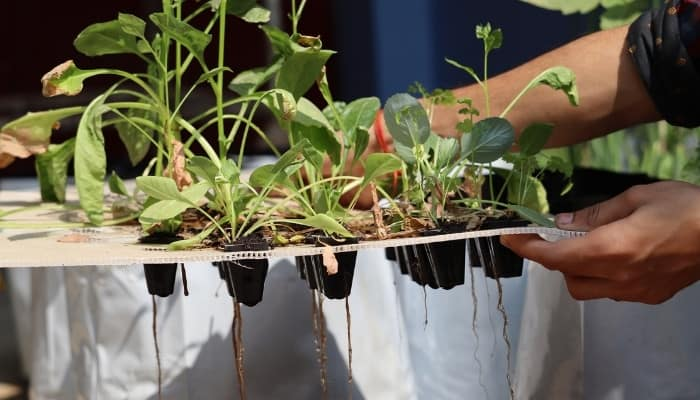 A tray of hydroponically grown vegetables showing signs of wilting, browning, and root rot.