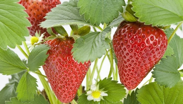 Tribute strawberry plant with ripe berries up close.