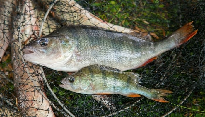Two Australian bass (freshwater perch) in a net on the ground.