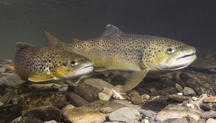 A pair of brown trout swimming along the river bed in shallow water.