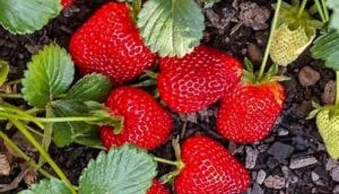 Lovely, fully ripe Seascape strawberries still on the plant.