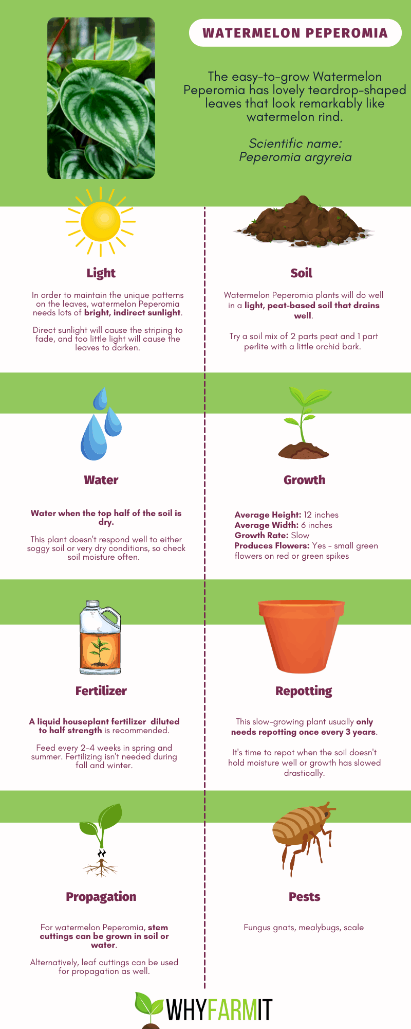 Infographic outling care for watermelon Peperomia