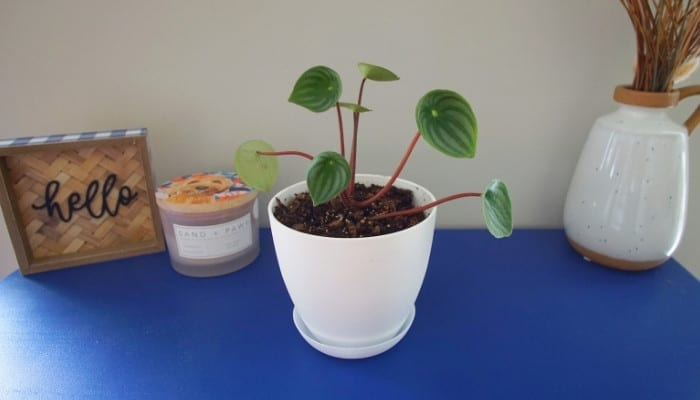 A watermelon peperomia plant in a white pot on a blue table.