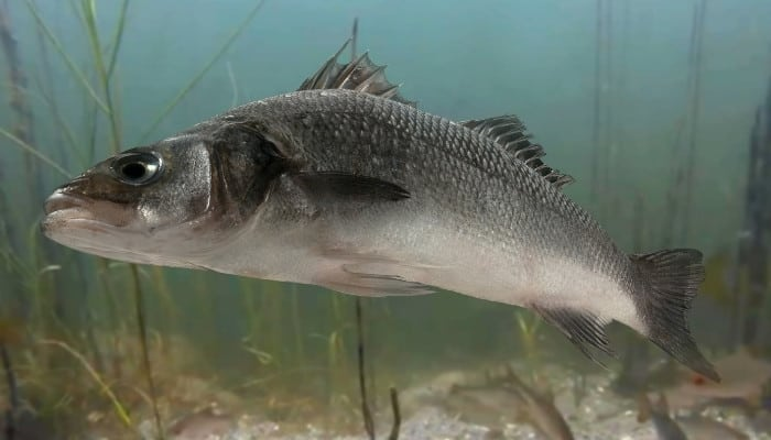 A large white bass near bottom of river.