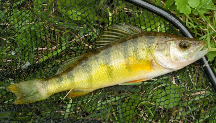 A yellow perch lying in a net on the grass.