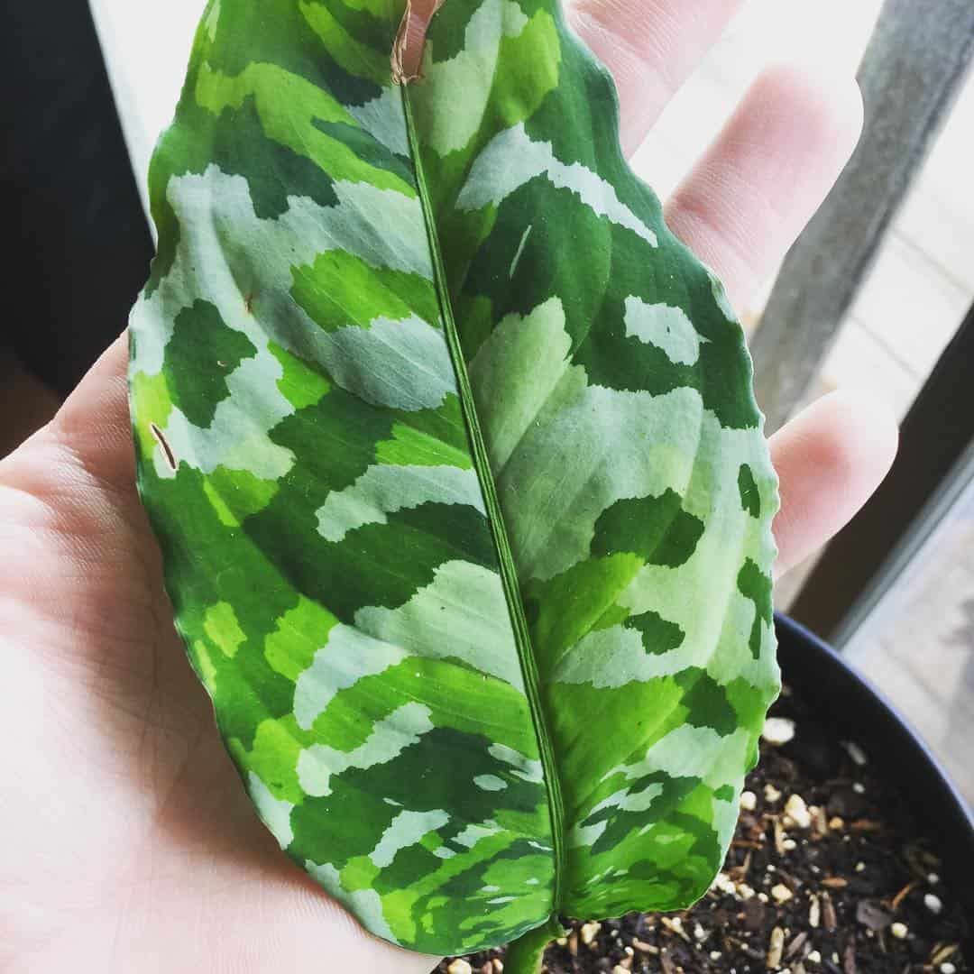 A healthy, large leaf of the Aglaonema plant resting against a person's hand.