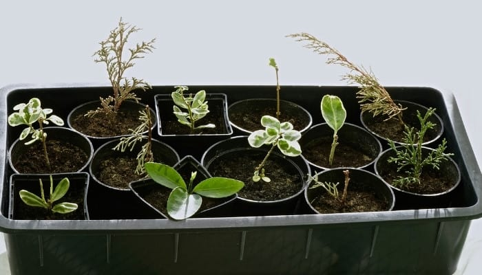 A variety of small plant cuttings growing in individual pots in a large black plastic tub.