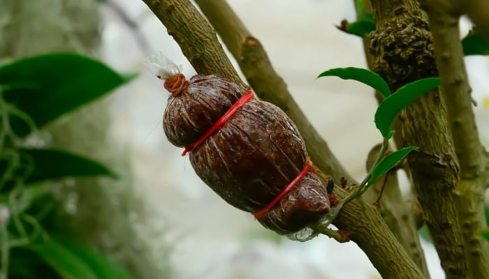 Red twine holding an air layering bag on tree branch.