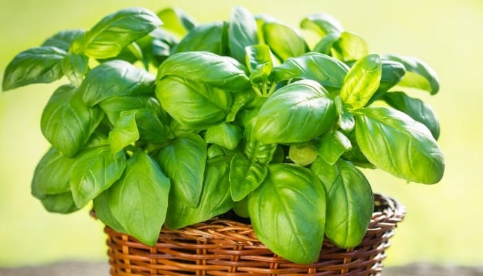 A healthy basil plant in a pretty wicker planting container.