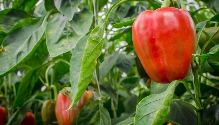 Several bell peppers growing on healthy plants in an aquaponic greenhouse.