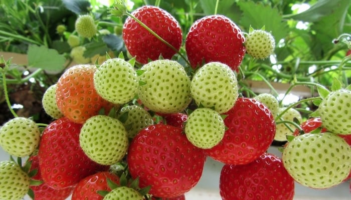 A big bunch of hydroponically grown strawberries in various stages of ripening.