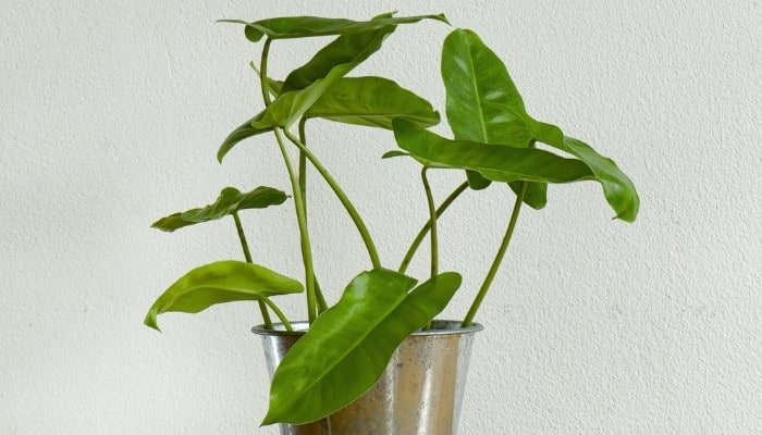 A young Burle Marx Philodendron in a shiny pot on a table with a gray wall in the background.