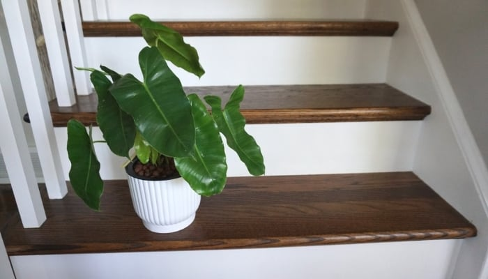 Burle Marx Philodendron on Stairs