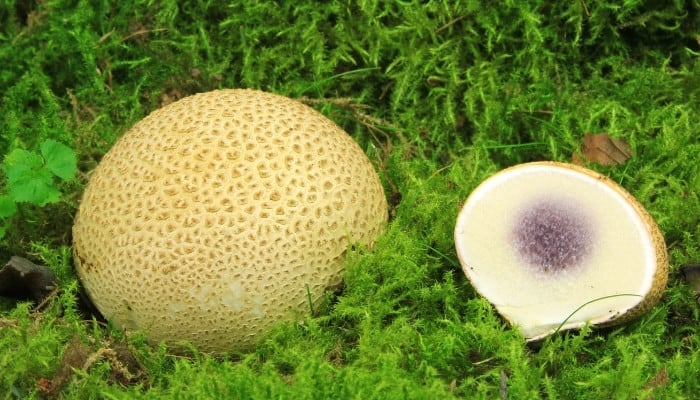 One intact common earthball mushroom sitting beside one that has been cut in half.