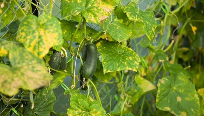 A cucumber plant with yellowing leaves growing on a chain-link fence.