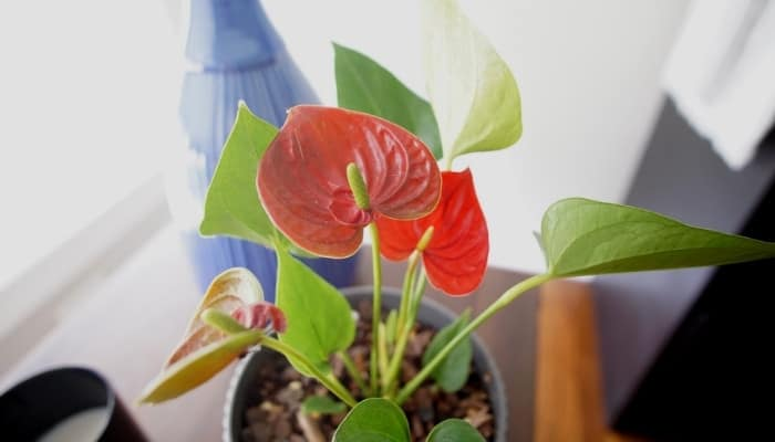A flowering Anthurium plant in front of a bright window with a blue bottle in the background.