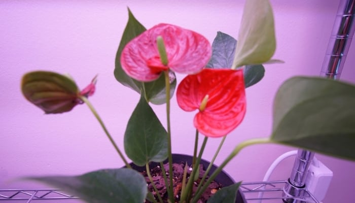 A flowering Anthurium plant on a rack under grow lights.