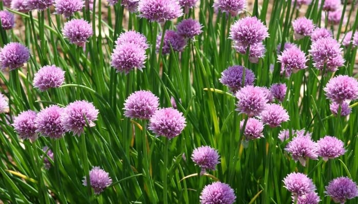 A large patch of flowering chives.