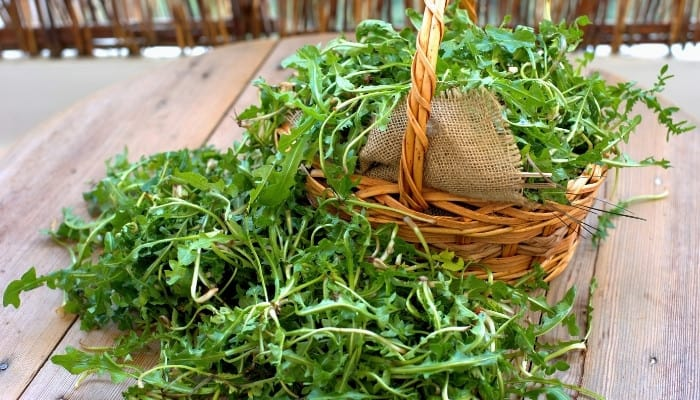 Freshly picked arugula in and around a wicker basket lined with burlap.