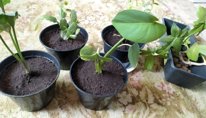 Four freshly transplanted cuttings with their old home of LECA balls on the side.