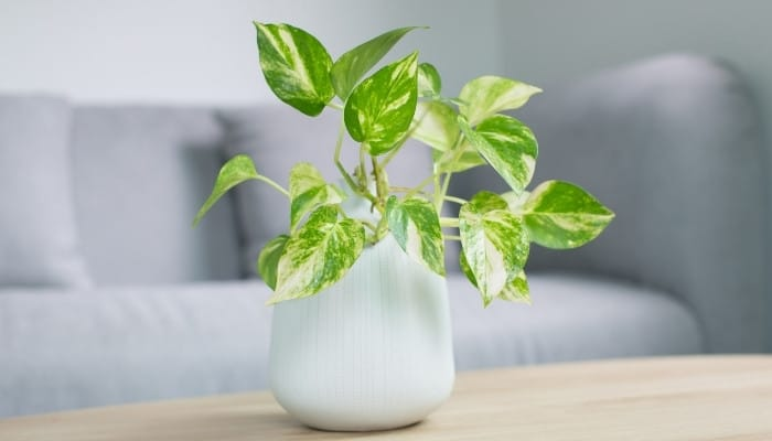A golden pothos plant in a white pot sitting on a table in front of a gray couch.
