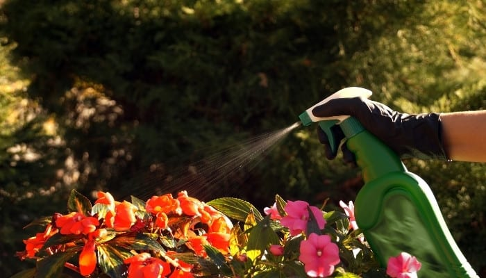 A green spray bottle being used to spray begonia and New Guinea impatiens.